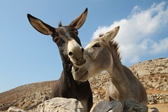 Donkeys in love