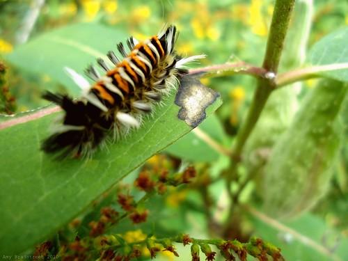 milkweed tussock caterpillar