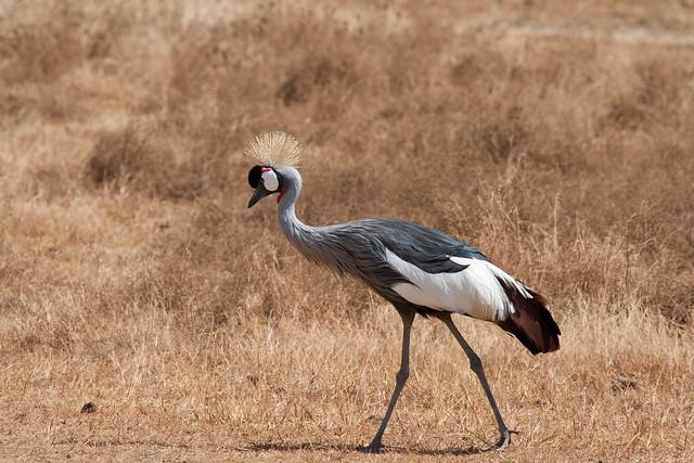 crowned crane, 1