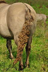 Konik tail with burdocks (Jan Visser Renkum) Tags: burdock paarden klis arctiumlappa konikhorses koniks ooijsebandijk oudewaal groteklit uiterwaardenwaal