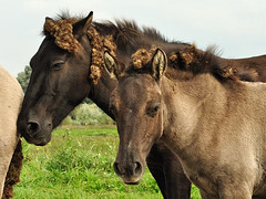 Konik horses with burdocks (Jan Visser Renkum) Tags: burdock paarden klis arctiumlappa konikhorses koniks ooijsebandijk oudewaal groteklit uiterwaardenwaal