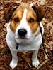 """Harley Rey"" (Willow Creek Photography) Tags: life dog love harley browneyes loyalty bestdog brownandwhitedog harleyrey"