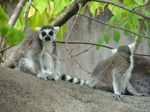 ringtailed lemur is all like meh