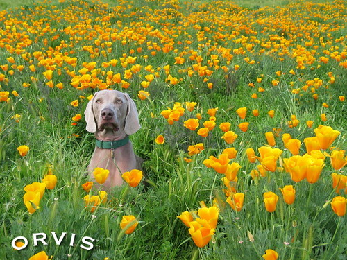 Orvis Cover Dog Contest - Teq'