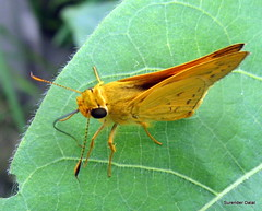 Hesperiidae Skipper (~skd~) Tags: mothsofindia cottonecology