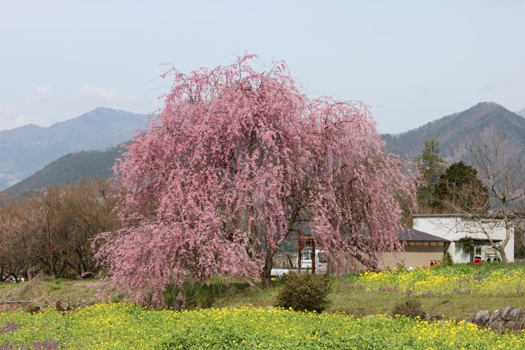 Sakura tour in Yamanashi (1)