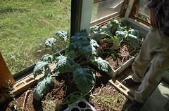 "Greenhouse Kale <a style=""margin-left:10px; font-size:0.8em;"" href=""http://www.flickr.com/photos/91915217@N00/4997192767/"" target=""_blank"">@flickr</a>"