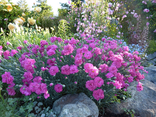More Dianthus love