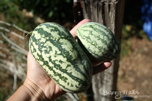 watermelon harvest