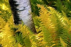 golden lights of autumn (George Reader DC) Tags: autumn fall golden pennsylvania birch ferns jimthorpe