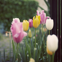 Springy (whitneybee) Tags: pink flowers plants white green yellow 50mm tulips bokeh natureycrap