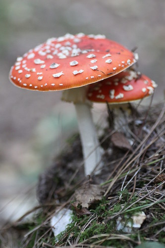 King's Wood, Challock: Amanita Muscaria