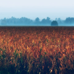 Cornfield Sea and Breaking Dawn (Tanjica Perovic) Tags: morning blue autumn trees mist painterly cold fall nature field misty fog contrast dark landscape photography dawn corn fotograf photographer motorway vibrant grain foggy earlymorning cyan mysterious dreamy grainy scape ontheroad mystic srbija autoput  catchycolorsblue catchycolorsorange takenfromacar contrastingcolors horizonline blueandbrown srpski fotografija   warmandcoldtones  tanjicaperovicphotography