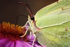 (   flickrsprotte  ) Tags: macro september insekt aster schmetterling zitronenfalter flickrsprotte