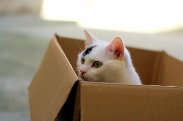cute turkish van cat in a box favorite hiding spot