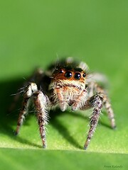 Macro Spider Eyes (aroon_kalandy) Tags: light india macro nature beauty creativity spider artistic awesome kerala greatshot impressions concept lovely calicut kozhikode multipleeyes topshots beautifulshot sonydslra200 malayalikkoottam wonderfulworldofmacro aroonkalandy