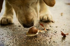 Excuse me, are YOU the mail snail from the snail mail?  124/365 (Ciscolo) Tags: dog goldenretriever snail 50mm14 cisco snailmail 124365