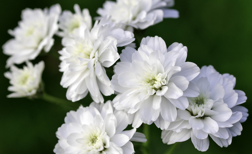 Flower with white petals images flower decoration ideas white petal flowers choice image flower decoration ideas white petal flowers gallery flower decoration ideas white mightylinksfo Choice Image