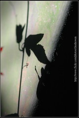 豔紅西番蓮_葉子光和影特寫-03_植物園_2010.0922-25 (阿鶴) Tags: family macro garden botanical nikon flickr order d d70s taiwan kingdom f micro species taipei wesley 28 mm af 105 passiflora passifloraceae plantae flick chen genus 植物園 微距 攝影 vitifolia angiosperms 台北植物園 taipeibotanicalgarden howen eudicots 行政院 afmicronikkor105mmf28d 阿鶴 tpbg rosids 微距攝影 malpighiales 鶴仔 西番蓮科 chenhowen wesleychen unranked 林業試驗所 農業委員會 顯微 艷紅西番蓮 nikonafd105mmf28macro 阿鶴仔