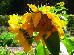 Sunflowers - Girasoli - zonnebloemen (Kristel Van Loock) Tags: flowers nature fleurs natuur natura sunflowers fiori zonnebloemen bloemen girasoli onlynature solonatura
