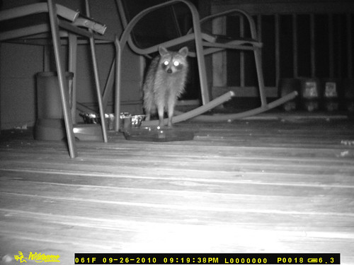 A skinny coon stands next to the feeding dish, looking just over the camera's left shoulder, as it were.