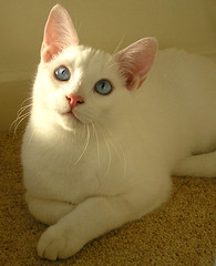 snoopy (twinkle_moon_bunny) Tags: white cute cat snoopy
