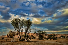 Camel - Explore (TARIQ-M) Tags: sky cloud tree landscape desert camel riyadh saudiarabia hdr canonefs1855     topshots      canon400d  photosandcalendar natureselegantshots  explorewinnersoftheworld  panoramafotogrfico theoriginalgoldseal flickrsportal tuwaiqmountains