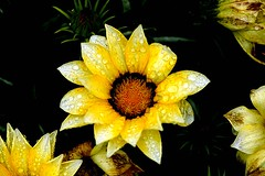wet bloom (GVG Imaging) Tags: flowers macro d50 birmingham thegarden sigma105mm pypehayespark mygearandmepremium mygearandmebronze