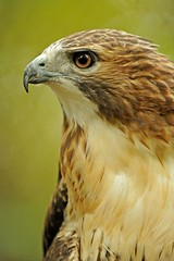 Red-tailed Hawk (Tyler Evert) Tags: wildlife wv westvirginia redtailedhawk frenchcreek