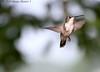 Inquisitive Hummingbird (Image Hunter 1) Tags: nature flying louisiana hummingbird flight bayou swamp marsh bayoucourtableau canont2i