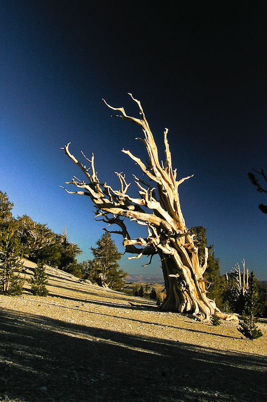 An ancient Bristlecone Pine. Photo by Edie Howe. http://www.littleredtent.net