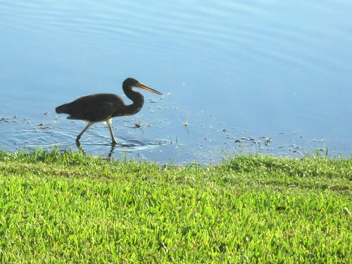 Little Blue Heron 20101002