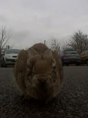 ill-rabbit