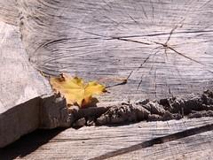 Still-life (:Linda:) Tags: yellow germany leaf beige village laub thuringia mapletree blatt treestump twocolors ahorn bicolored weitersroda baumstumpf woodstump ahornbaum baumblatt