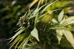 Mary Jane (VivaLasVegasFCB) Tags: grass weed jane maria mary flor smoking thc marijuana hash herb cannabis joint hemp marihuana ganja hierba cañamo cogollo porro canabis canuto a350 ghanja