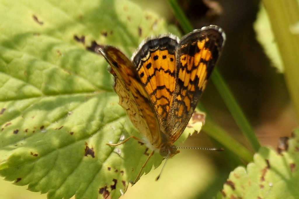 Pearl Crescent Butterfly  2