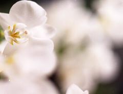 fragile (Corrie Heijstek) Tags: white orchid flower mamiya nature natuur orchidee wit bloem