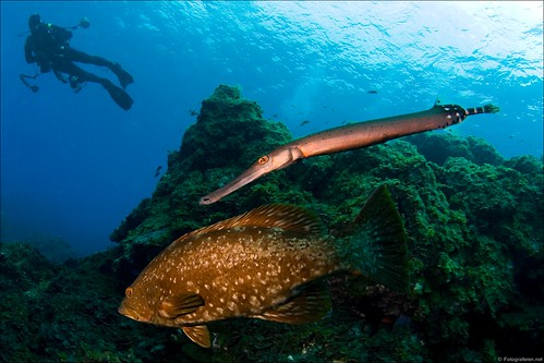 Grouper & Trumpetfish combo, standard for El Hierro diving