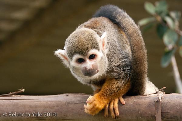 RYALE_African_Dawn_Squirrel_Monkeys_2