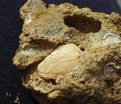 Petricola lithofaga
