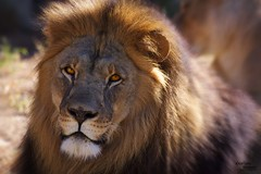 Lion_1846 (Zooaholic) Tags: lion tulsazoo flickrbigcats