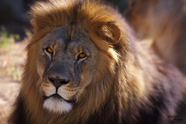 Lion_1846