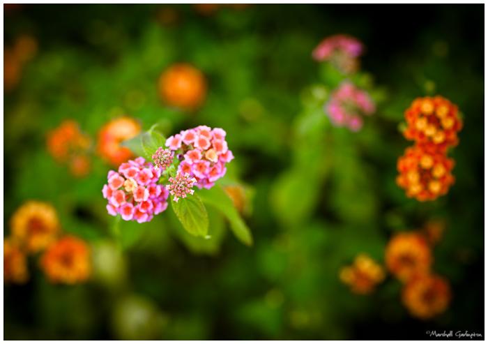 Sherbert flowers