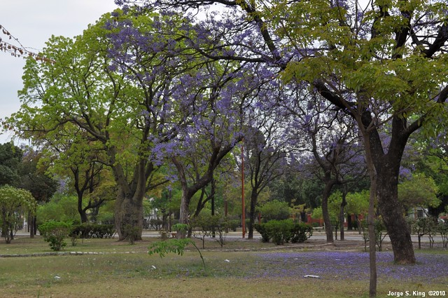 Jacarandá I - Jacaranda mimosifolia