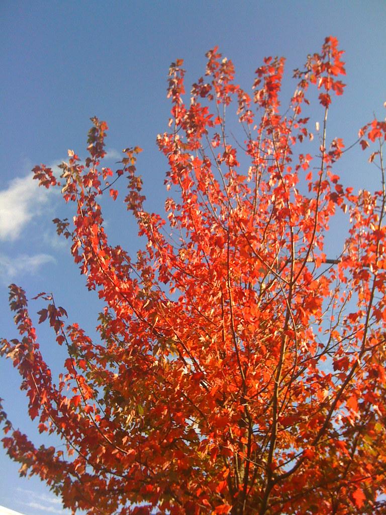 autumn's blaze
