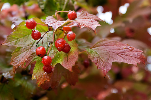 Rojo Otoñal -  Autumnal Red