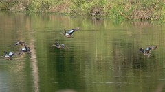 Female Blue-winged Teal - 2