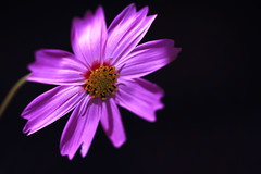 Cosmos in the Dark ( Spice (^_^)) Tags: pink light shadow plants black flower macro art nature japan canon geotagged photography eos petals interesting stem flora october asia flickr purple image picture pistil stamen    gettyimages 2010  saitamaken       canoneos7d