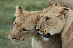Masai Mara (Trent Strohm) Tags: africa park wild camp game animals private bush kenya safari national migration preserve governors masaimara