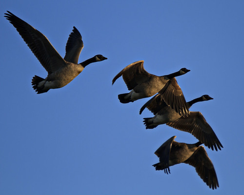 Cluster o' Geese